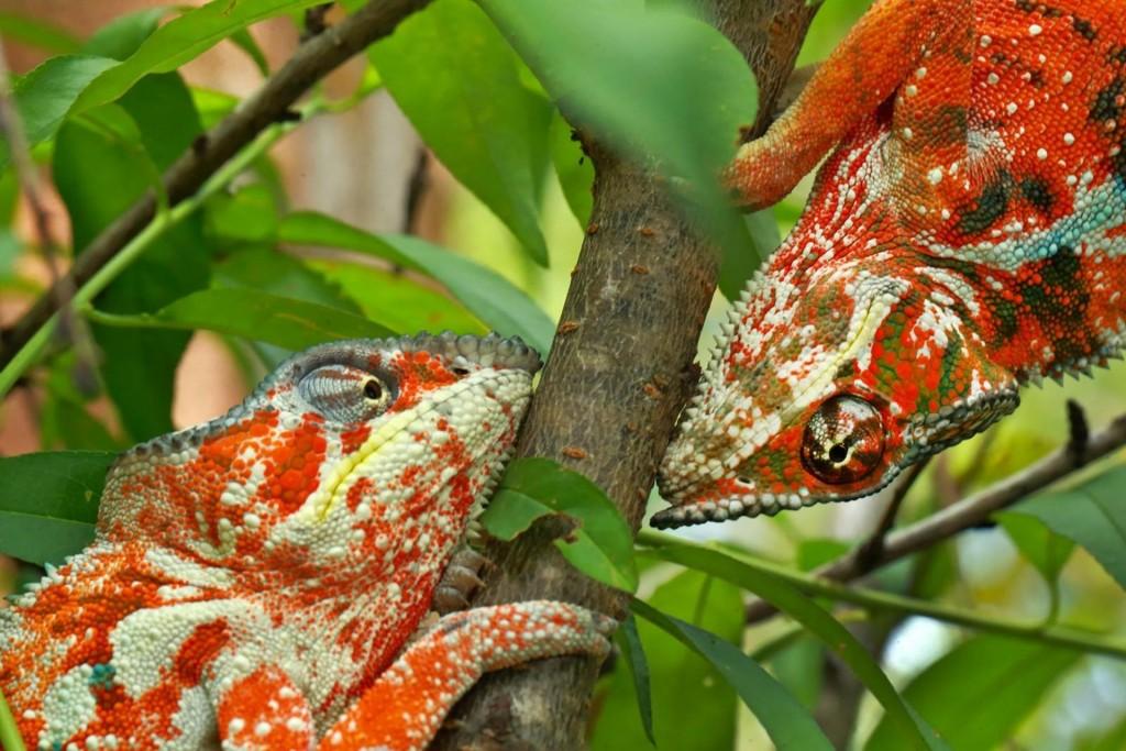 Christiaan Ziegler, Duitsland, voor National Geographic, 3de prijs Natuur. Vechtende panterkameleons uit het noorden van Madagaskar. Gefotografeerd in gevangenschap, in het wild zijn ze heel zeldzaam